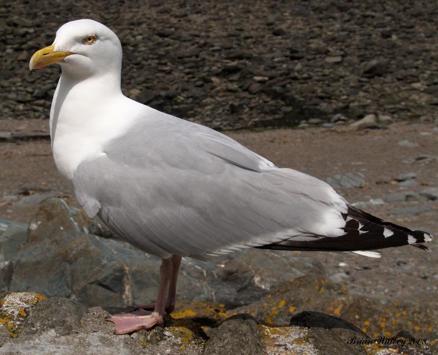 photoblog image Coats #4 - Herring Gull
