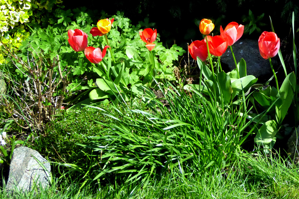 photoblog image Maureens Tulips.jpg